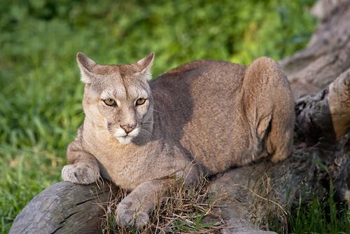 Chilean Puma