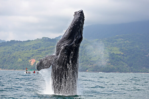 Breaching Whale in Ballena Marine National Park in Costa Rica