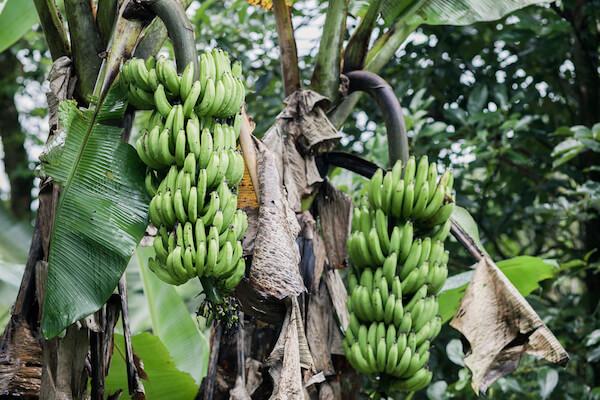 Banana trees in a Costa Rican plantation