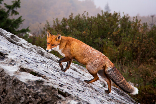 Croatia red fox