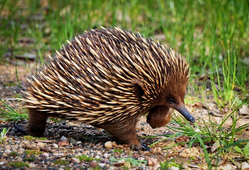Echidna: animals in Australia