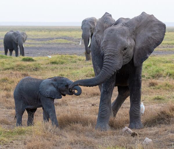 Amboseli National Park - Elephants