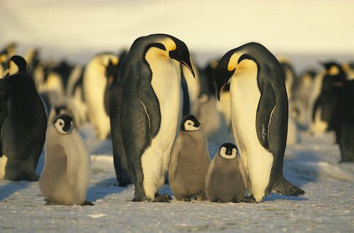 Emperor Penguins Antarctica Facts