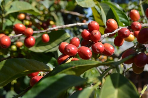 Ethiopian coffee beans - Ethiopian coffee is the biggest export product