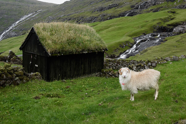 Faroe islands house with grass roof and sheep