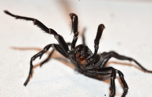 Sydney Funnel-web spider - image by Australian Reptile Park