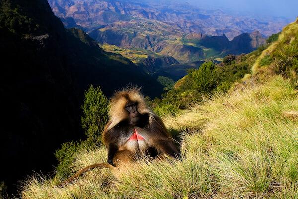 Gelada Monkey in Simien National Park in Ethiopia