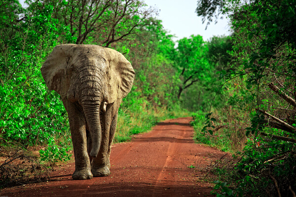 Elephant in Ghana