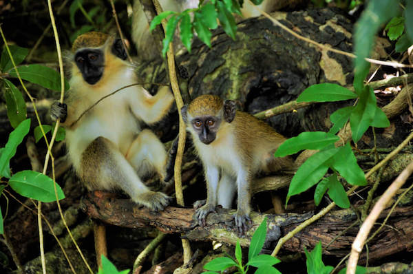 Barbados Green Monkeys - Image by Gemma Ribakovs
