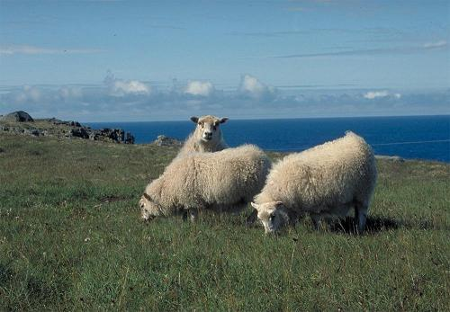 Sheep on Iceland by gregi at sxc.hu