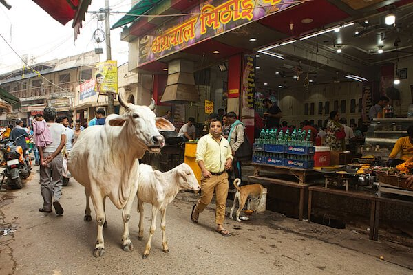 India Cows in Uttar Pradesh street - image by PIRANHAS ROY/shutterstock.com