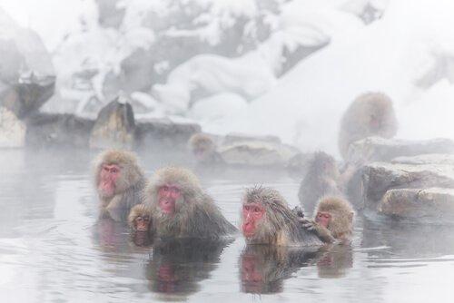 Japanese snow monkeys