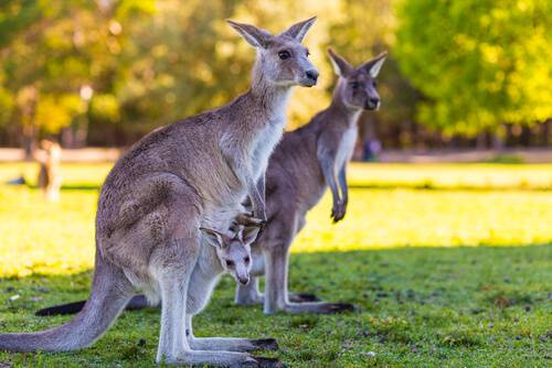 Australia Facts for Kids | Facts for Kids | Geography | Animals