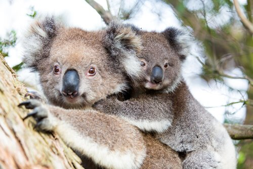 Koala - typical Australian animal