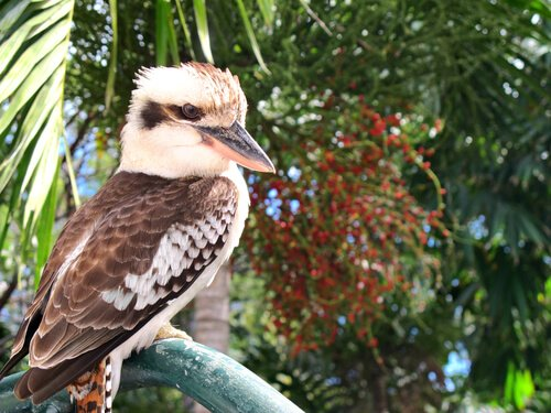 Kookaburra sits on an old gum tree...