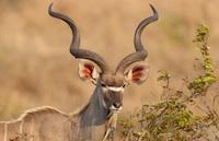 Namibian Gemsbok