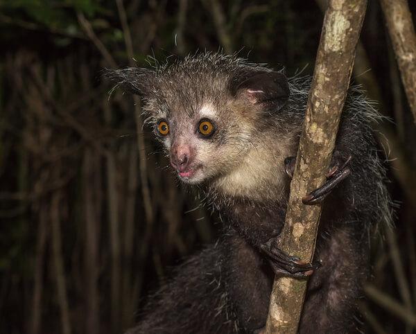 Long-fingered aye aye lemur