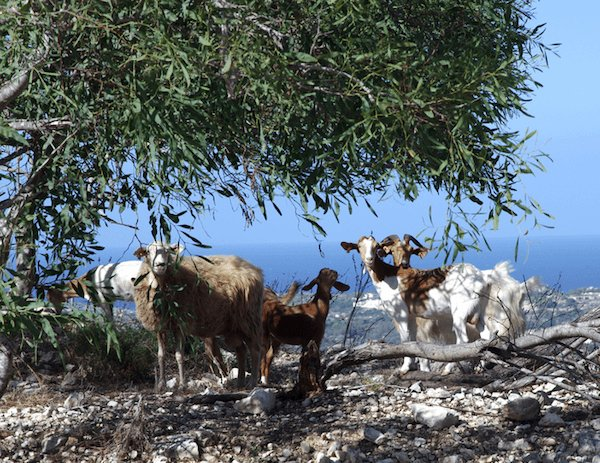 Goats and olive tree in Malta