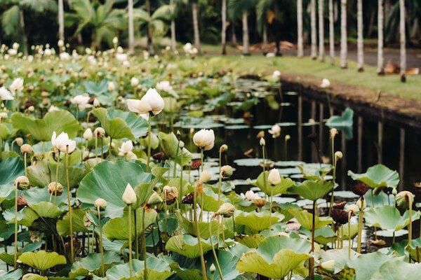 Waterlilies in bloom in Mauritius Botanic Gardens
