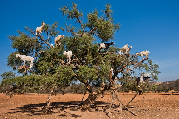 Goats climbing in Argan tree in Morocco - image by Shutterstock.com