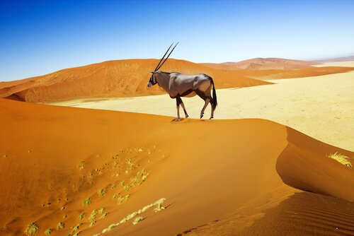 Oryx wandering on the dunes in Namibia