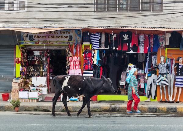 Cow in Kathmandu/Nepal - image by Mark Benham/shutterstock.com
