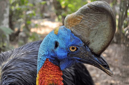 Northern Cassowary - image by San Diego Zoo