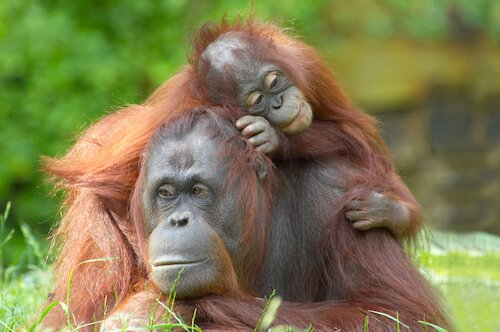 Orang utan with baby