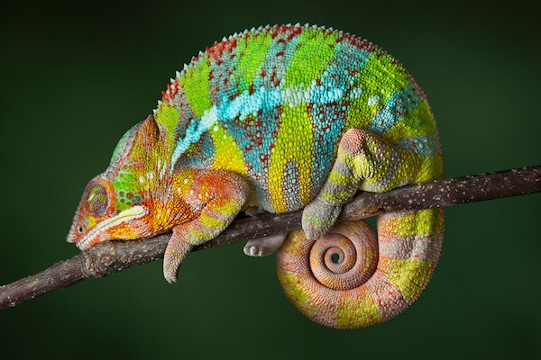 Panther chameleon, the largest land animal in Reunion