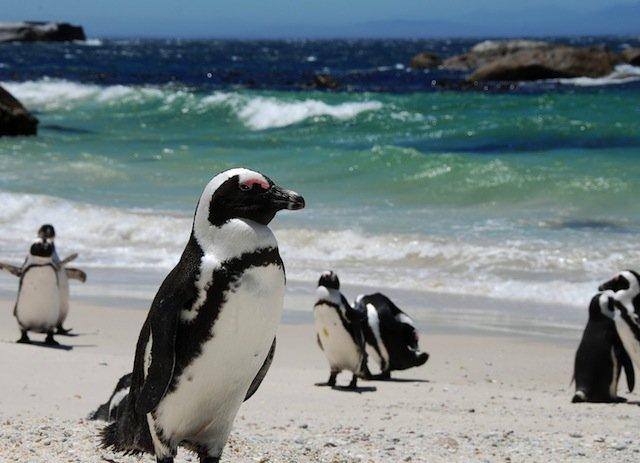 Penguins at Boulders Beach