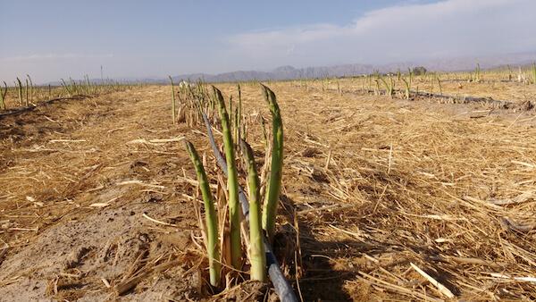 Peru Asparagus in field