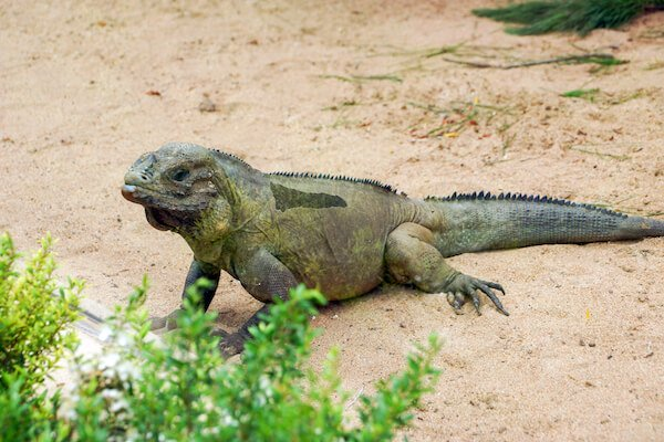 Rhinoceros iguana in the Dominican Republic - image by SkrypnykovDmytro