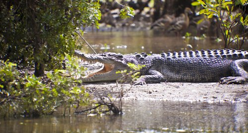 Saltwater crocodile in Kakadu National Park