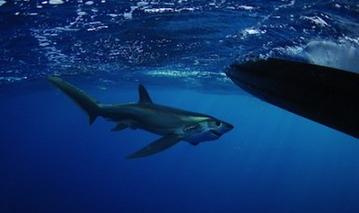 Thresher Shark by Beth Swanson