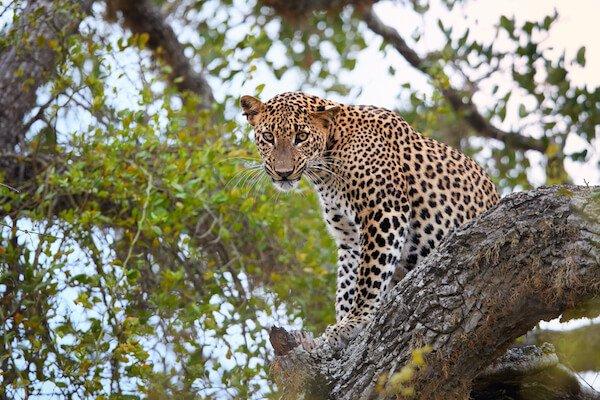 Sri Lanka animals: Leopard in Sri Lanka