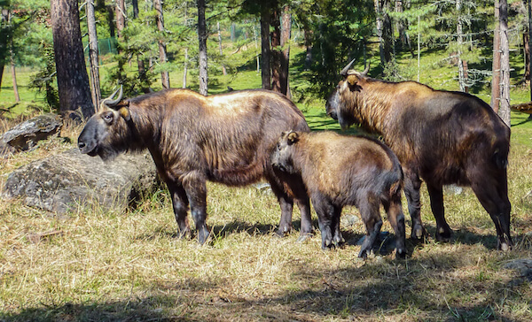 Takin family: The takin is the national animal of Bhutan.
