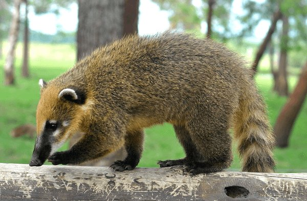 More about the Coati in Uruguay Facts for Kids