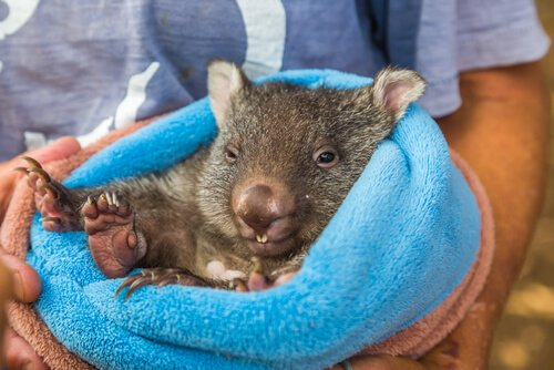 Wombat held by a park attendant - image by Benny Marty
