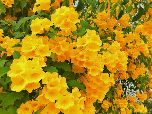 Yellow elder flower the national flower of the Bahamas