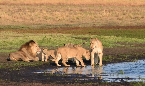 Zambia lion family with cubs