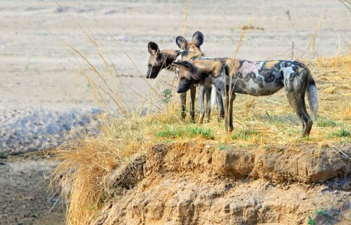 Wild dogs in Zambia - image by Paula French/shutterstock.com